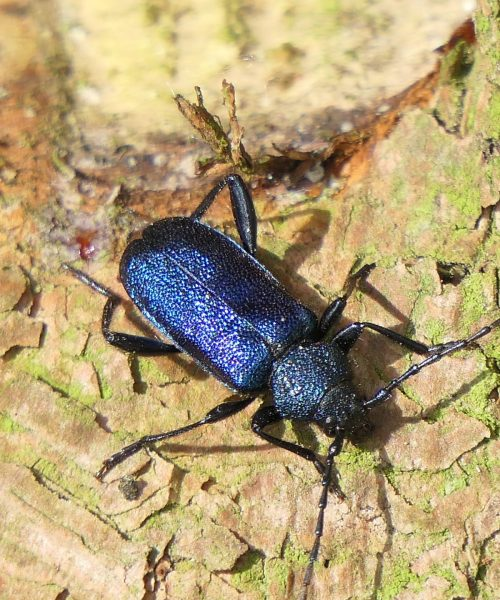 Blauvioletter Scheibenbock (3)